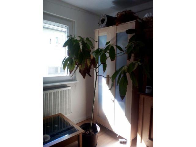 Avocadobäumchen , 1, 30m