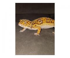 Leopardengecko mit viel Zubehör zu verschenken